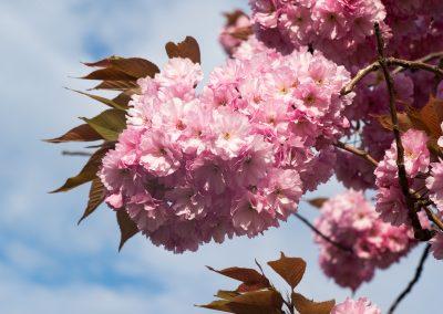 Sakura, Arendal Norway