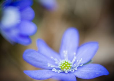 Hepatica Nobilis with Velvet 56