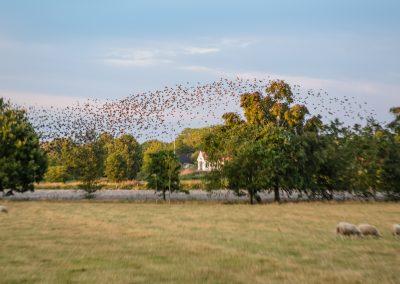 Black sun starlings