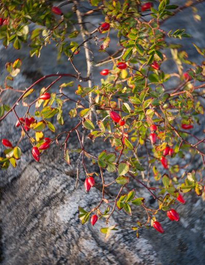 More rosehips