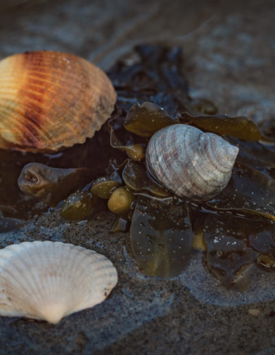 Seashells with Velvet 56