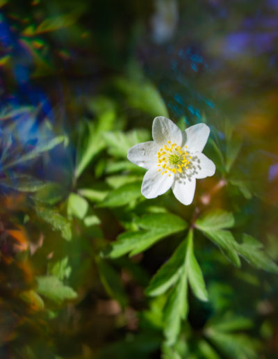 Wood anemone, Velvet 56 and Omni