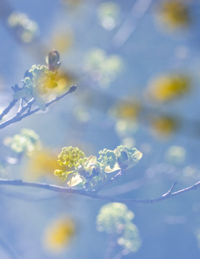 Spring buds, double exposure